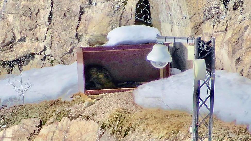 Berguven i Gruvan matar en unge