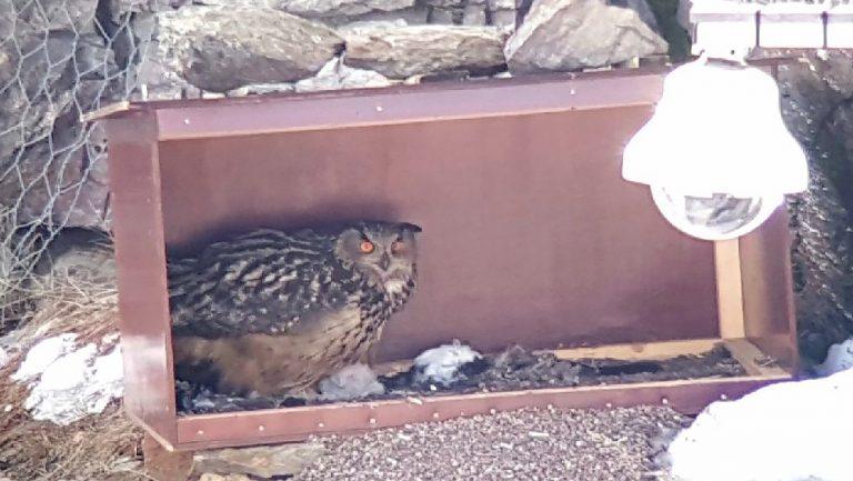 Fågelnytt i Falun – Uven har två ungar och flera vårfåglar har anlänt